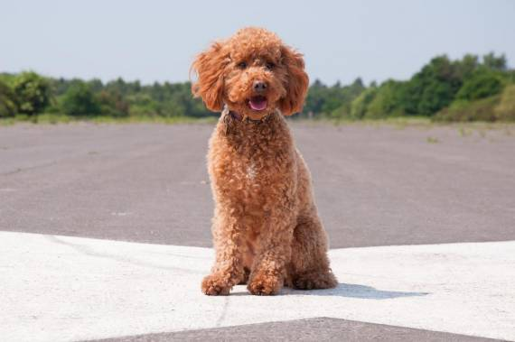 Should You Get A Cavapoo Or A Cockapoo?