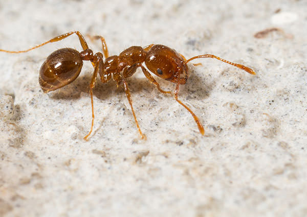 Fire Ants – Serious Issues They Can Cause