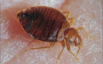 How to get rid of bed bugs and ensure they don't come back